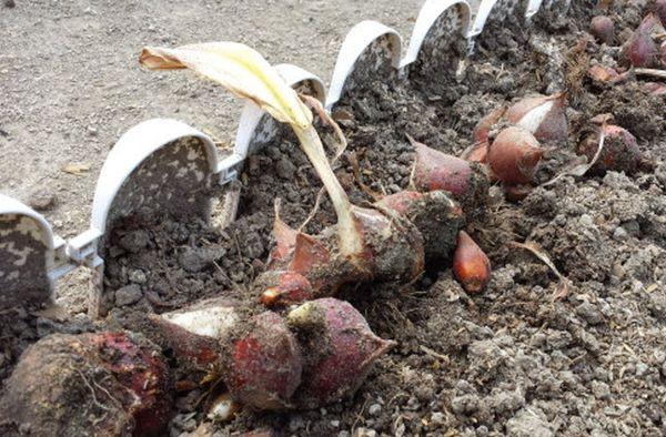 Благоприятные дни для выкапывания тюльпанов в 2021 году и хранение луковиц до посадки