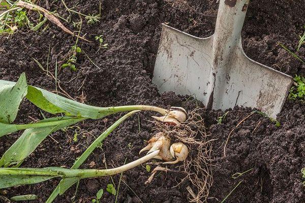 Благоприятные дни для выкапывания тюльпанов в 2020 году и хранение луковиц до посадки