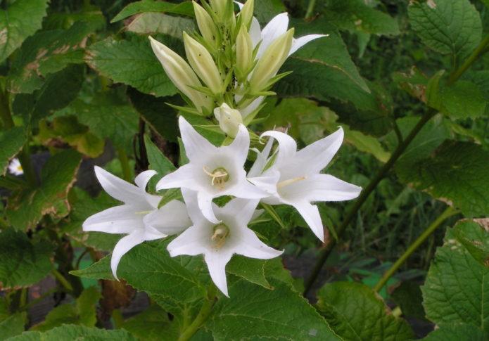 Как выглядит колокольчик и его разновидности и особенности выращивания цветка