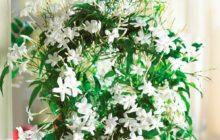Особенности выращивания комнатного жасмина