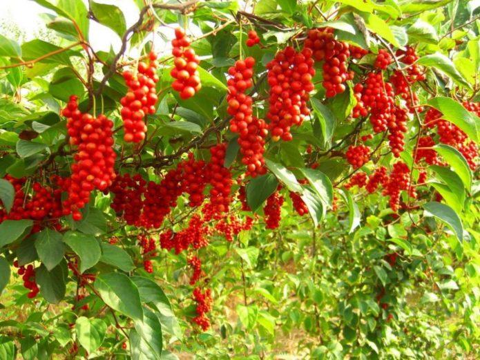 Особенности выращивания лимонника в открытом грунте и выбор районированного сорта