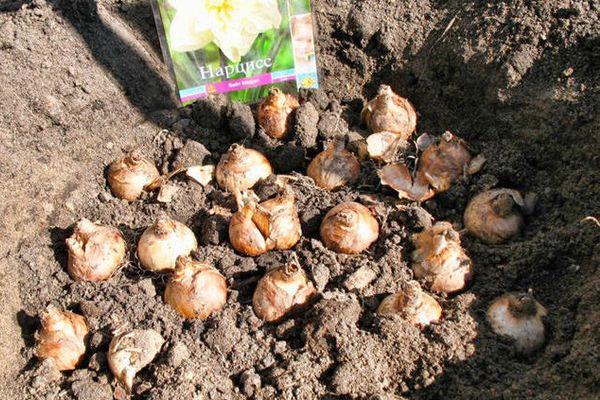 Нарциссы: когда сажать луковицы осенью