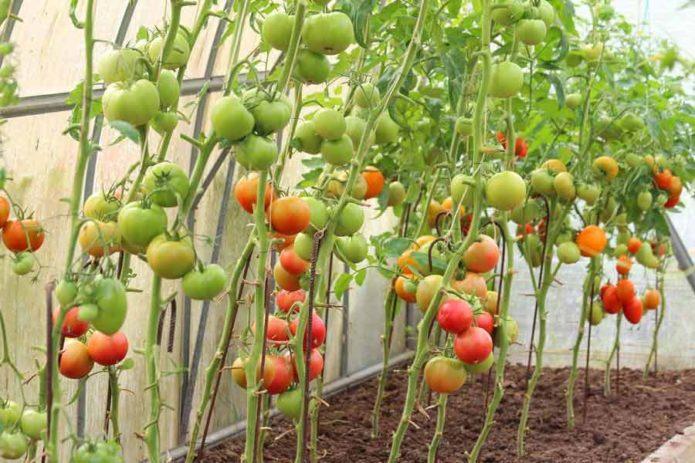 Как рассчитать благоприятные дни для посадки томатов для теплиц по луне на 2021 год