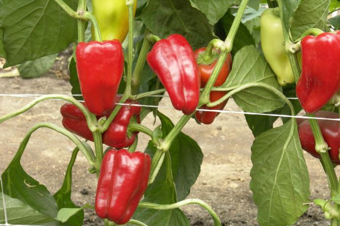 Лучшие сорта перца для северо-запада на 2021 год с учетом способа выращивания