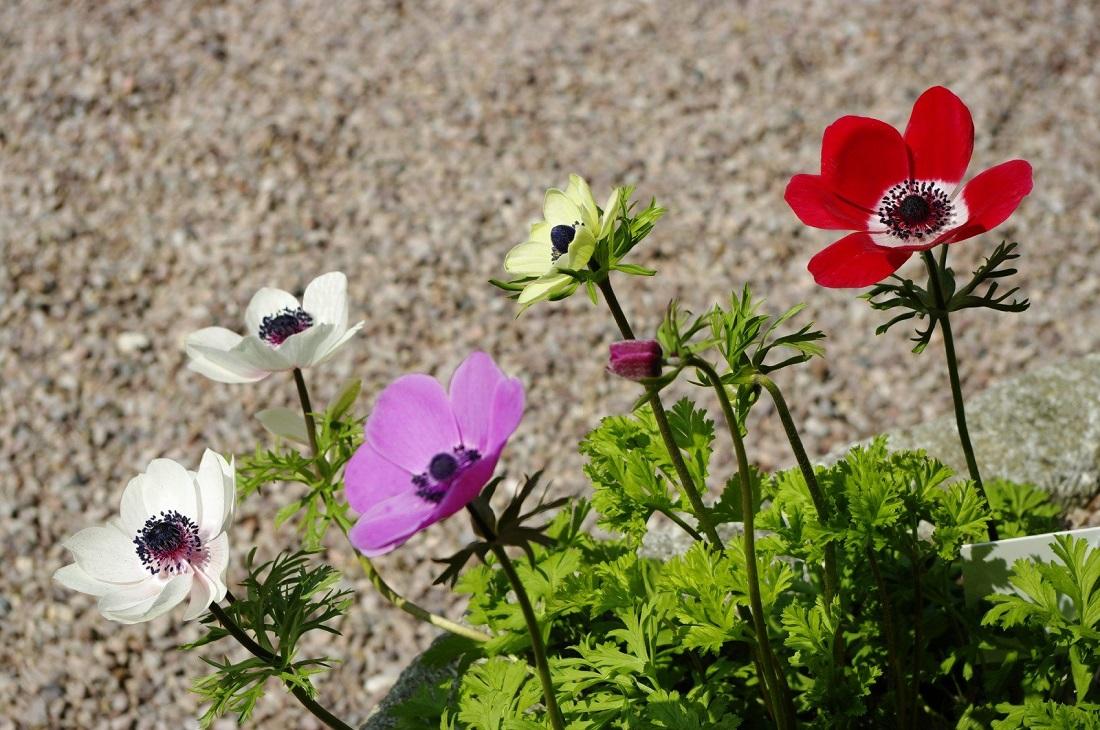 Анемоны: особенности выращивания в открытом грунте, требования к условиям содержания и способы размножения