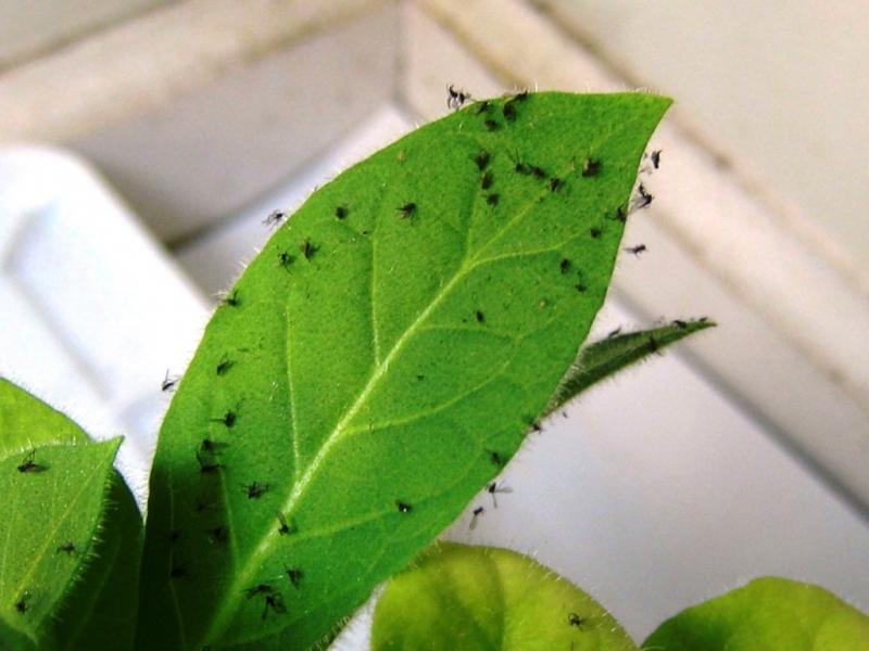 Мошки в комнатных цветах: как избавиться от вредителей, причины их появления и полезные советы