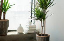 Как размножить драцену в домашних условиях, особенности проведения процедуры и последующий уход за растением