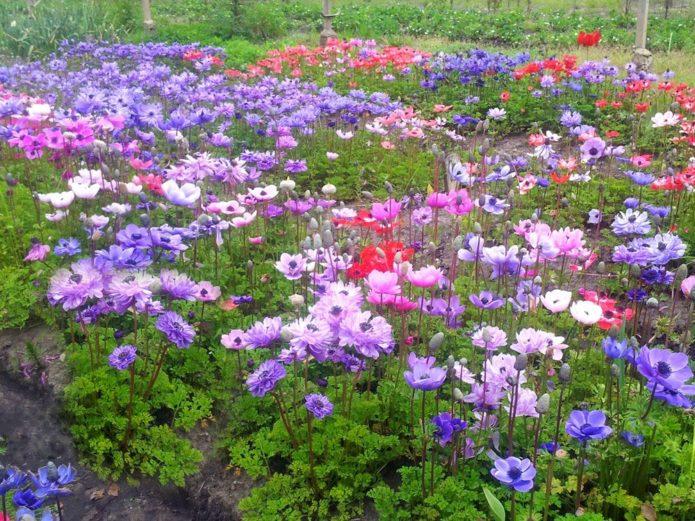 Особенности выращивания анемонов в открытом грунте и популярные сорта