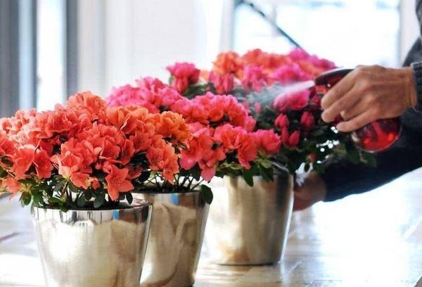 Как ухаживать дома за комнатной азалией: важные правила содержания цветка