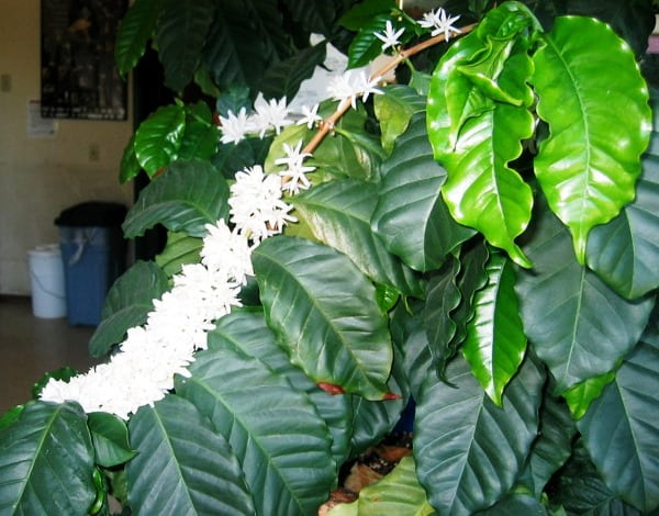 Как вырастить кофейное дерево и особенности ухода за ним дома