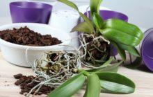 размножения орхидеи
