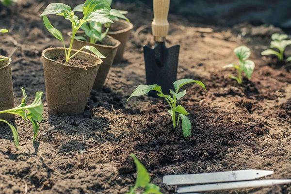 Расчет благоприятных дней для посадки рассады перца в Подмосковье в 2020 году