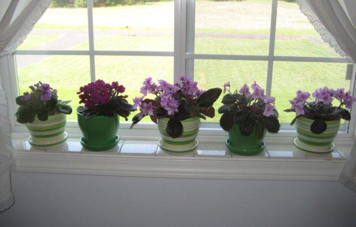 фиалки вдома на окне