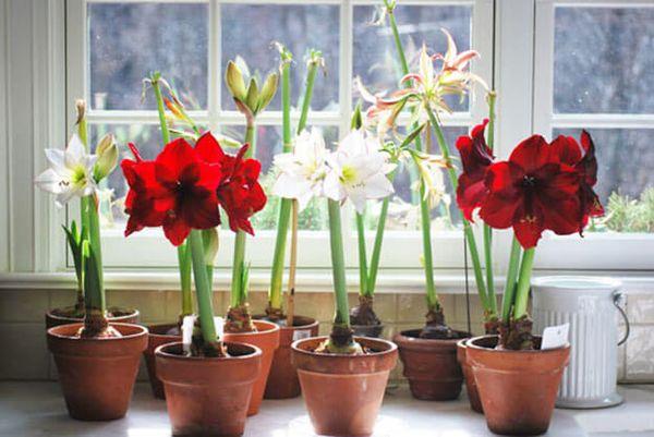 Как вырастить амариллис в домашних условиях и способы его размножения