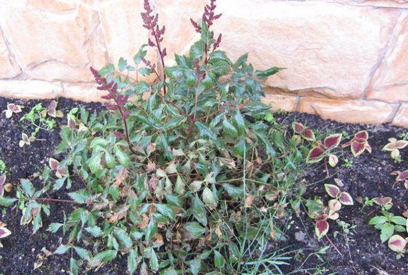 Что такое астильба, фото растения и как вырастить цветок в открытом грунте