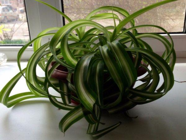 Как выращивать хлорофитум в домашних условиях и способы размножения растения