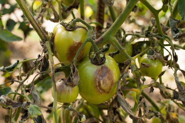 Как распознать заболевания помидоров и способы лечения