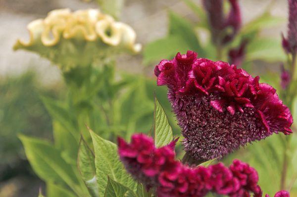 Как выглядит целозия, популярные сорта и особенности выращивания