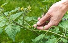 Что такое пасынкование томатов