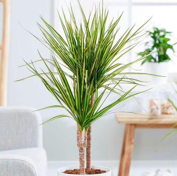 Популярные сорта и разновидности драцены для выращивания дома