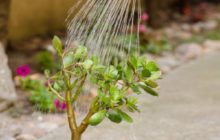 Как правильно поливать денежное дерево