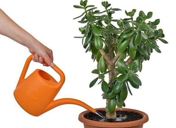 Особенности полива денежного дерева в домашних условиях