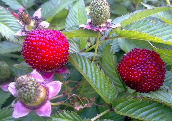 Что такое княженика, где произрастает ягода, как выглядит и как вырастить арктическую малину на участке