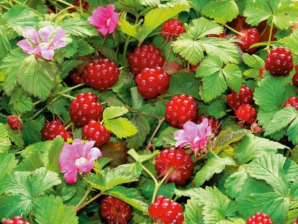 Княженика: редкая русская ягода