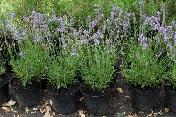 Как выглядят семена лаванды, особенности выращивания