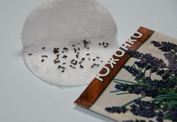 Как вырастить лаванду из семян и особенности ухода за растением
