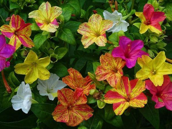 Как выглядит цветок ночная красавица и как выращивать мирабилис на участке
