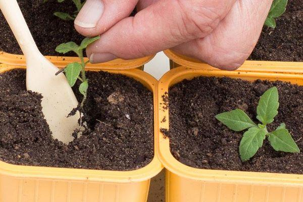 Как вырастить вербену из семян: особенности посадки и ухода