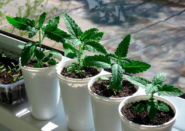 Вербена: выращивание растения из семян