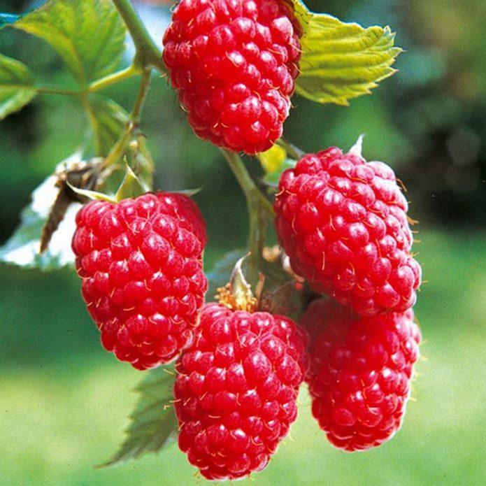 Лучшие сорта малины, классификация по размеру ягоды, сроку созревания и региону выращивания