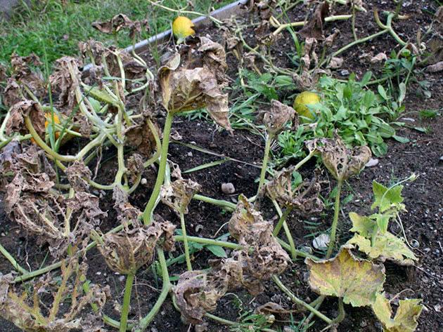Болезни листьев огурцов