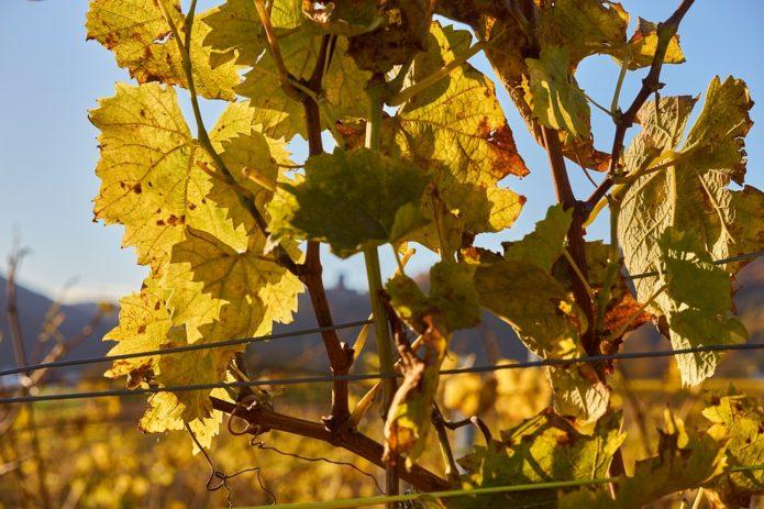 Когда нужно обрезать виноград осенью и какие схемы использовать для правильной стрижки