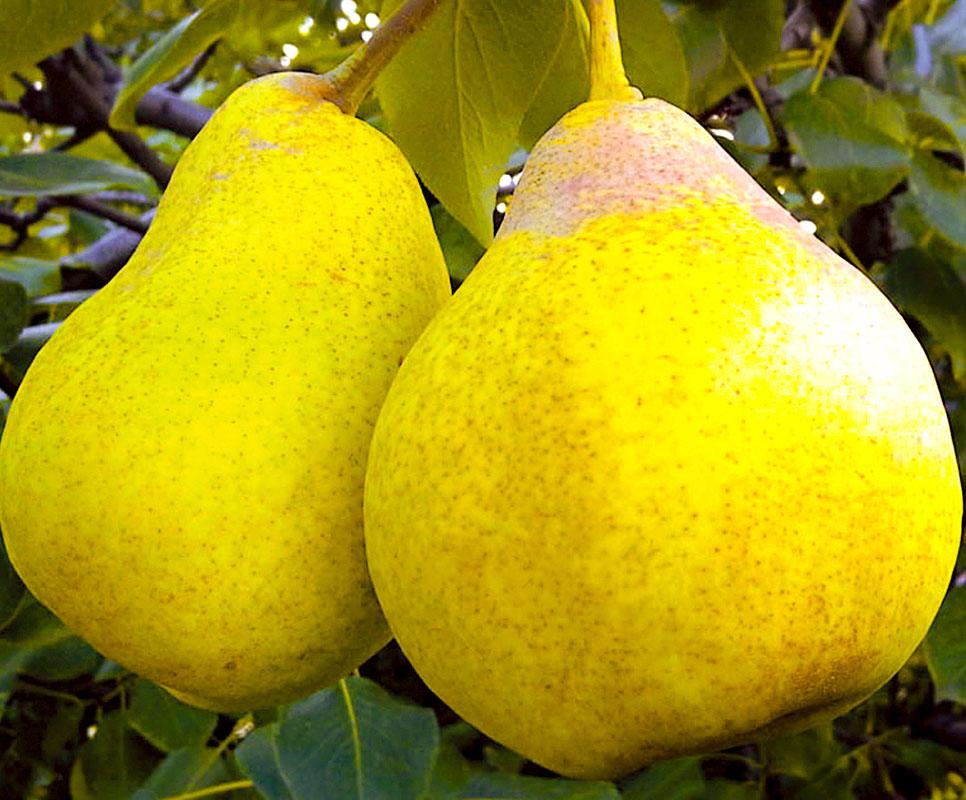 Какие сорта груши считаются самыми лучшими для выращивания в Подмосковье