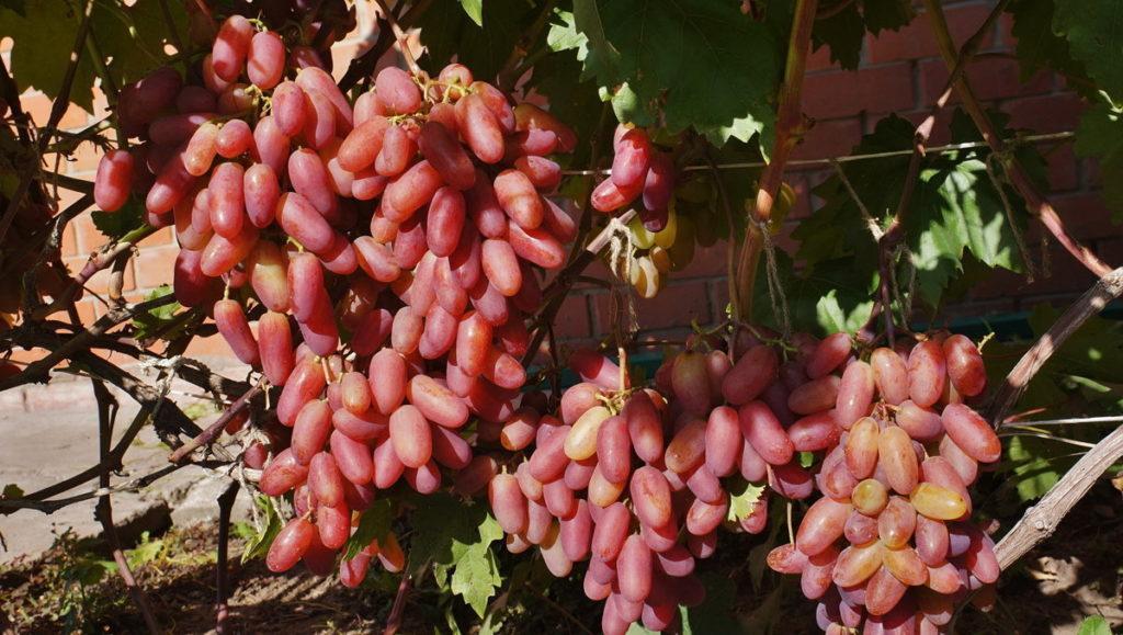 краснодарском крае все сорта винограда с фото и описанием чего