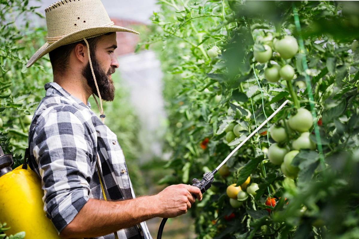 Почему у томатов скручиваются листья и что делать для устранения проблемы
