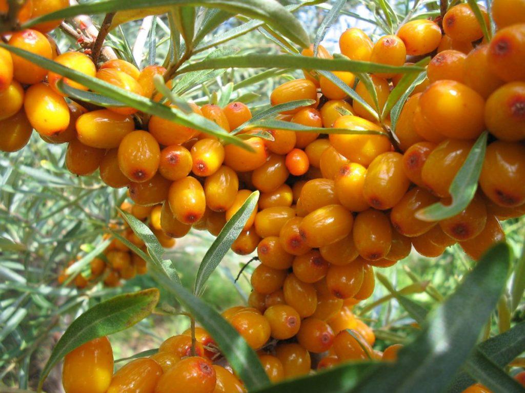 Выбираем лучшие сорта облепихи по регионам и характеристикам ягоды