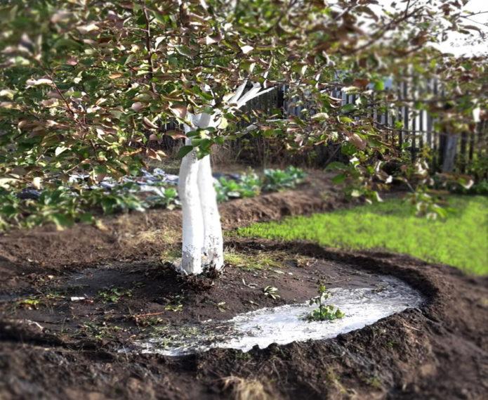 Чем и когда нужно подкармливать яблони осенью в зиму, чтобы лучше плодоносили
