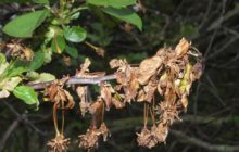 Что такое монилиоз косточковых деревьев и как бороться с заболеванием