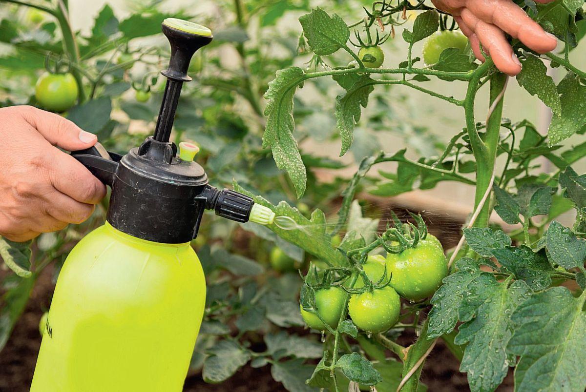 Для чего томаты опрыскивают борной кислотой и как провести процедуру