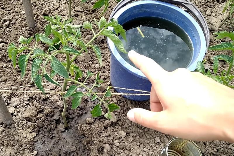 Для чего помидоры обрабатываются борной кислотой и как это сделать правильно