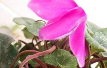 Причины прекращения цветения цикламена и поиск причины проблемы