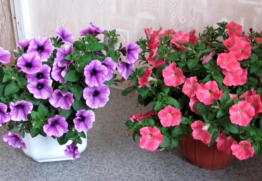 Как сохранить петунию до весны в домашних условиях