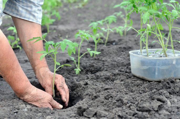 Обязательные подкормки при посадке томатов в открытый грунт