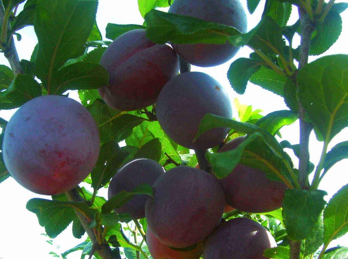 Лучшие сорта сливы для выращивания в Подмосковье