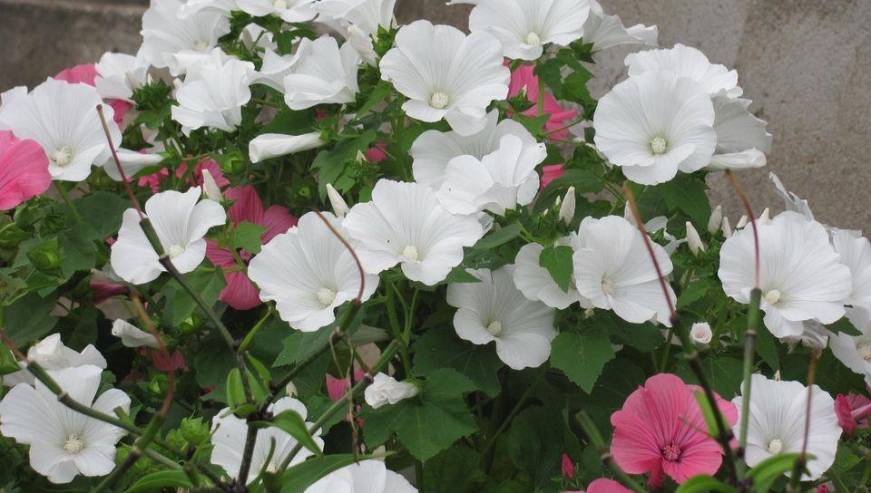 Как вырастить лаватеру из семян и советы по уходу за посадками