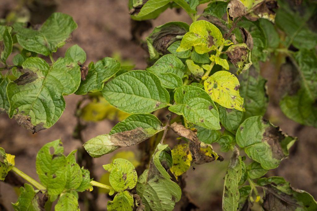 Как бороться с фитофторой на картофеле и чем обработать